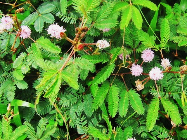 Mimosa Plant - Beautiful Shy Plant