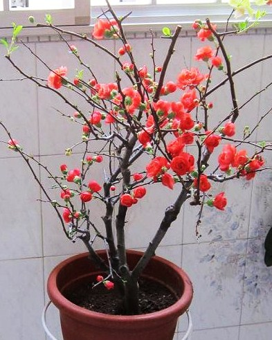 Hai Tang Flower Chinese Flowering Apple