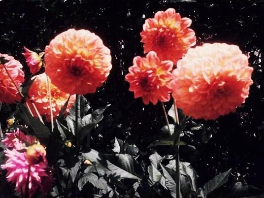 Beautiful Orange Color Flowers (photo taken in New Zealand)