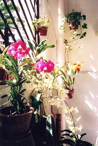 Colorful Orchids at my balcony